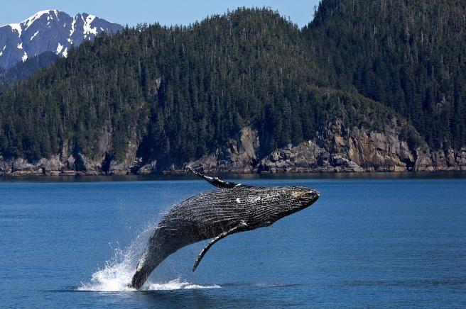 Jumping Ocean Humpback Whale Breaching Mammal